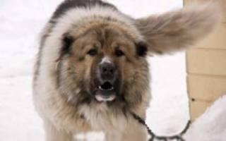 Какую собаку выбрать для охраны частного дома