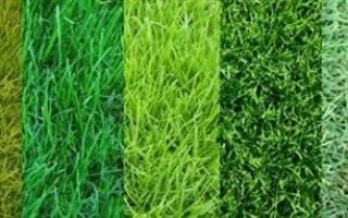 Газонная трава как выбрать для сибири