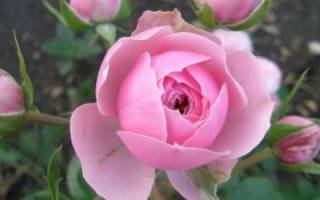 Как выбрать розы для посадки весной