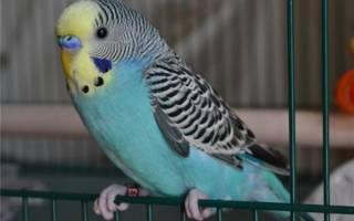 Как выбрать волнистого попугая в зоомагазине