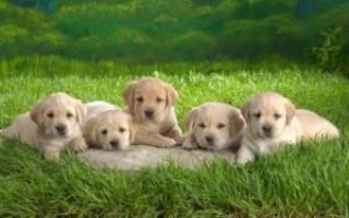 Как выбрать щенка лабрадора правильно