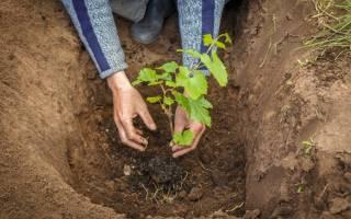 Как выбрать место для посадки винограда на участке