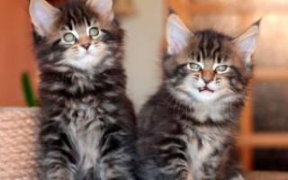 Как выбрать котенка мейн куна