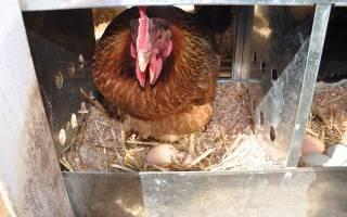 Как выбрать яйца под наседку чтобы были курочки